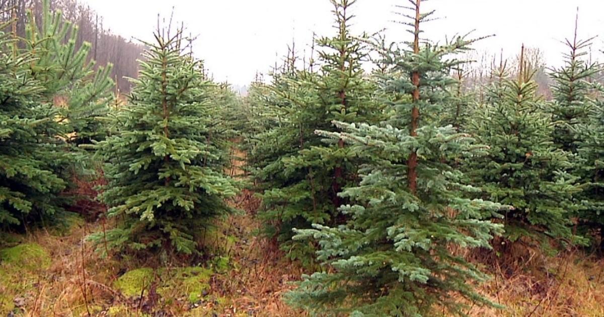 Weihnachtsbäume Selber Schlagen Sachsen Fernsehen