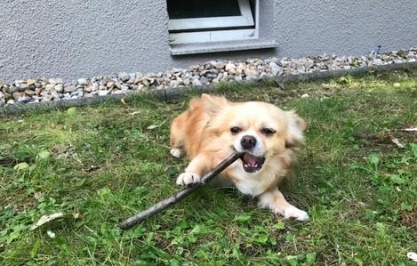 Hund_Chihuahua_vermisst_Dresden, © Stefan Kolewatow