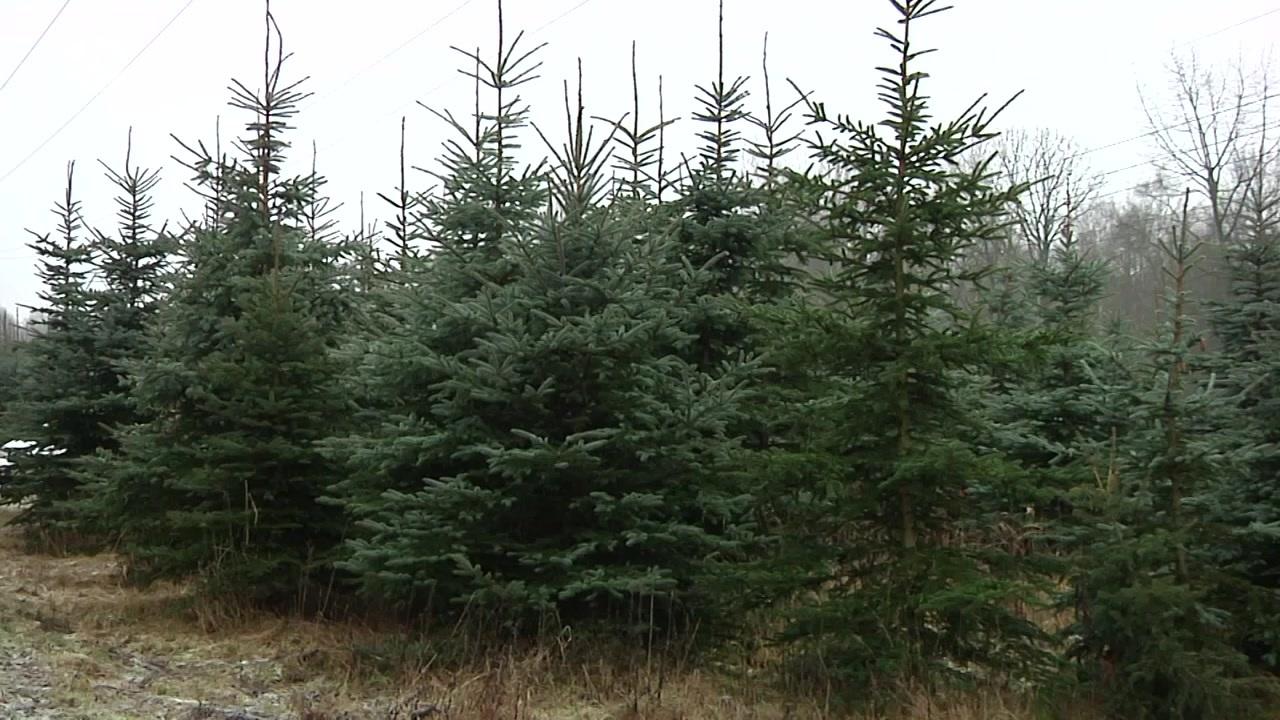 Weihnachtsbäume Frisch Aus Dem Wald Sachsen Fernsehen